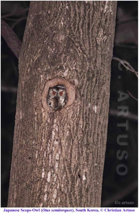 Christian Artuso: Birds, Wildlife: A few owls of South Korea - photo#30