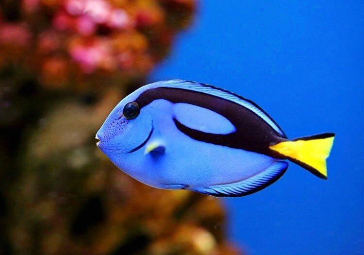 Cerrah Balığı saldırgan bir değildir ama kendini tehdit altında hissederse saldırabilir.