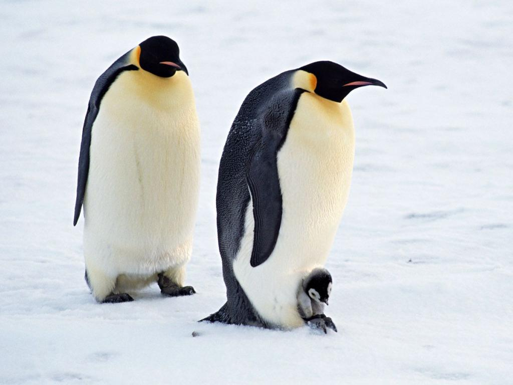 animals cute nature penguins mighty wallpapers penguin baby animal cutest adorable ever than