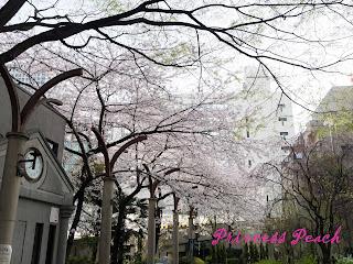hotel-unizo-ginza-itchome-周圍櫻花