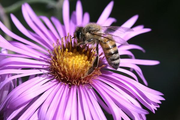 El polen de abeja – Remedios naturales para la artritis reumatoide