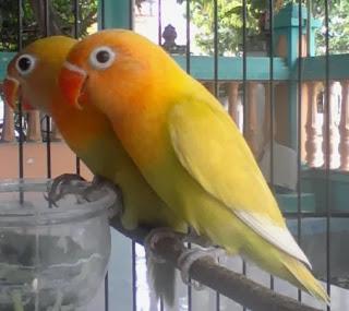 Daftar Harga Burung Lovebird Bulan Januari  Daftar Harga Burung Lovebird Bulan Januari 2018