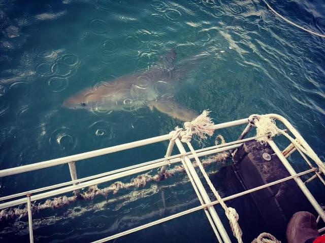 Michael Phelps competirá con un tiburón; porque nadar con simples mortales es muy aburrido