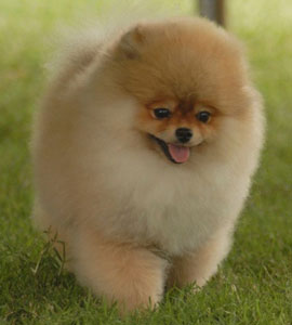 pomeranian dog names pomeranian dog pictures names price cute and funny pet 5107