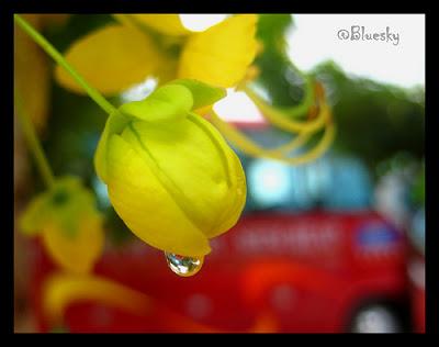 Hoa bò cạp nước, muồng hoàng hậu