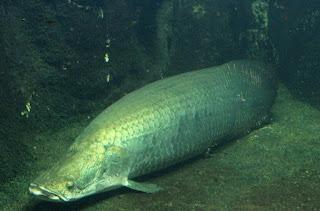 Ikan Arwana Araipama Gigas