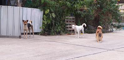 Strassenhunde Thailand