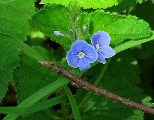 Przetacznik ożankowy (Veronica chamaedrys L.).