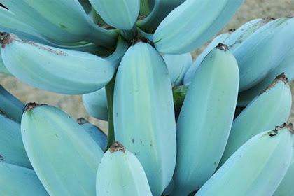 Pisang Blue Java, Berwarna Biru dan Selembut Es Krim
