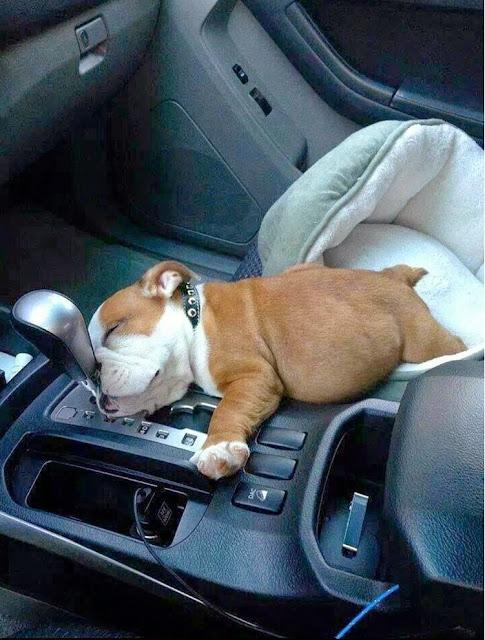 Bulldog Puppy Fell Asleep In The Car