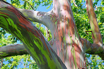 Rainbow Eucalytus