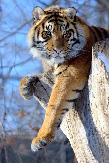 Les tigres 1227407738K1M1gD2%255B1%255D
