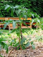 ochrona warzyw w czasie upałów