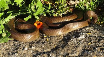 Mole snake basking in the sun