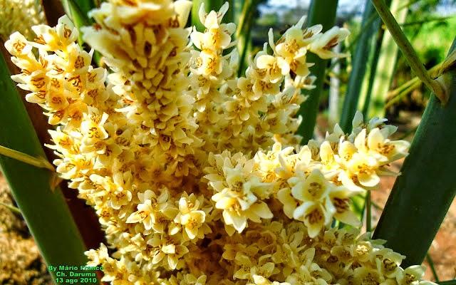 FLOWERS TAMAREIRA, TÂMARA - ( Phoenix dactylifera )