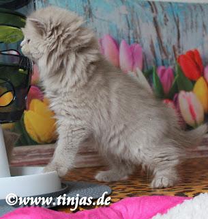 Britisch Langhaar Katzenbabys in lilac