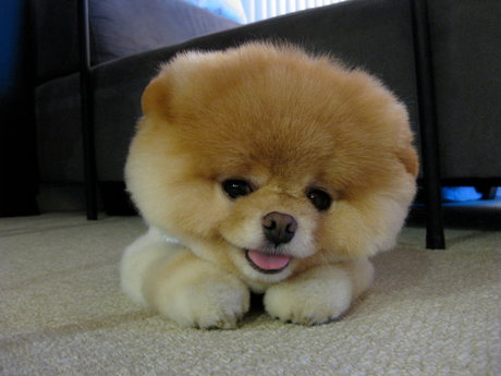 Life Thinking Boo The Most Popular And Cute Dog Of The