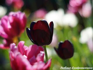 Tulpen im Gemüsegarten