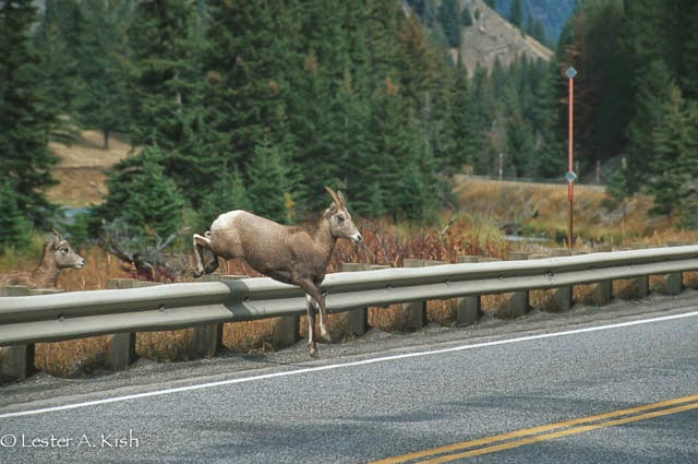Bighorn sheep jumping onto highway, Montana