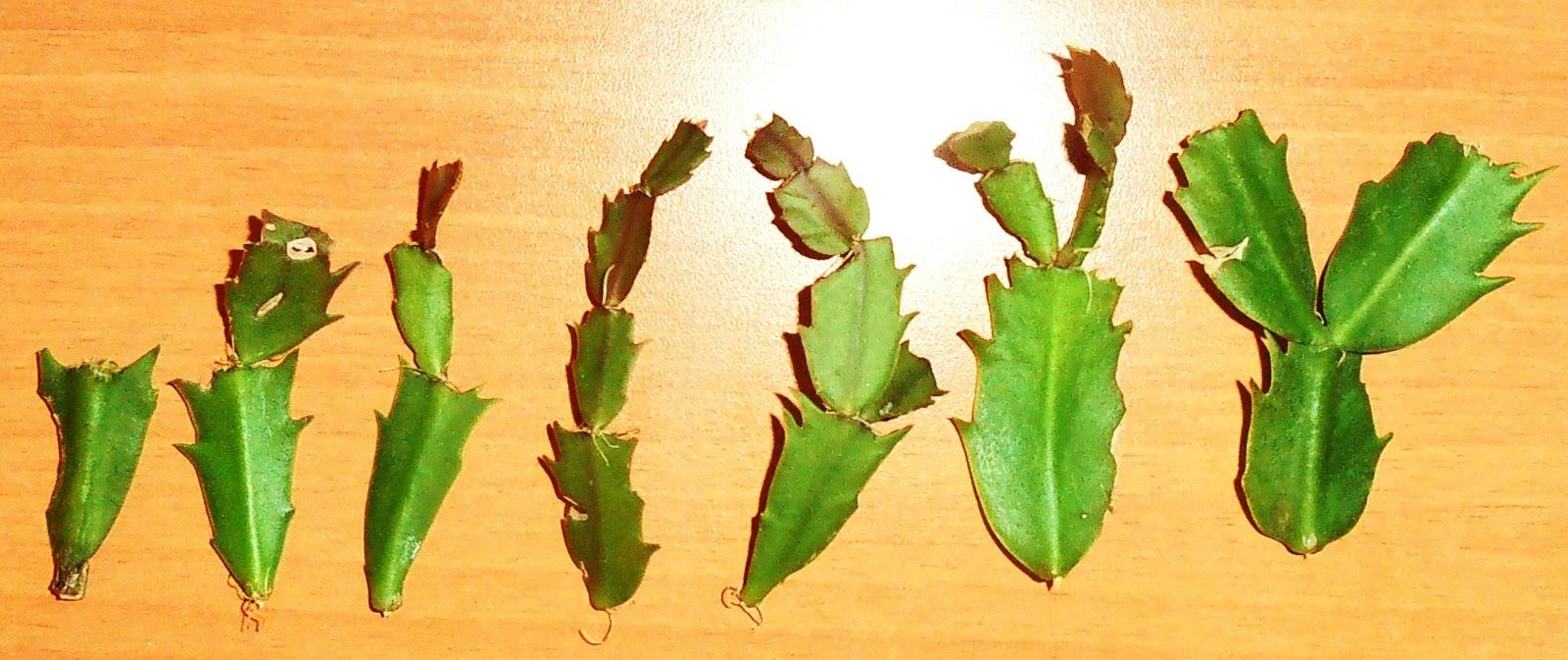 Cactus de navidad schlumbergera truncata zygocactus truncatus - Cuidados planta navidad ...