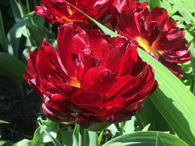 Tulipaner som ser ut som roser - sjarmerende og vakker