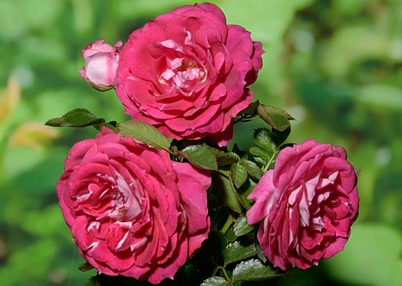 Let's Celebrate rose сорт розы фото