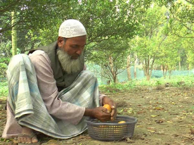 Mohammad Imajuddin picks the oranges North Dinajpur