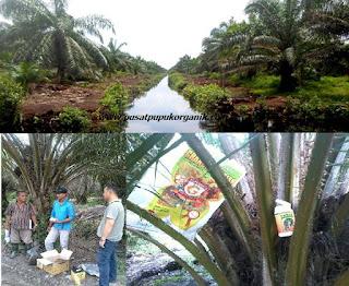 cara-pemupukan-kelapa-sawit-di-tanah-gambut