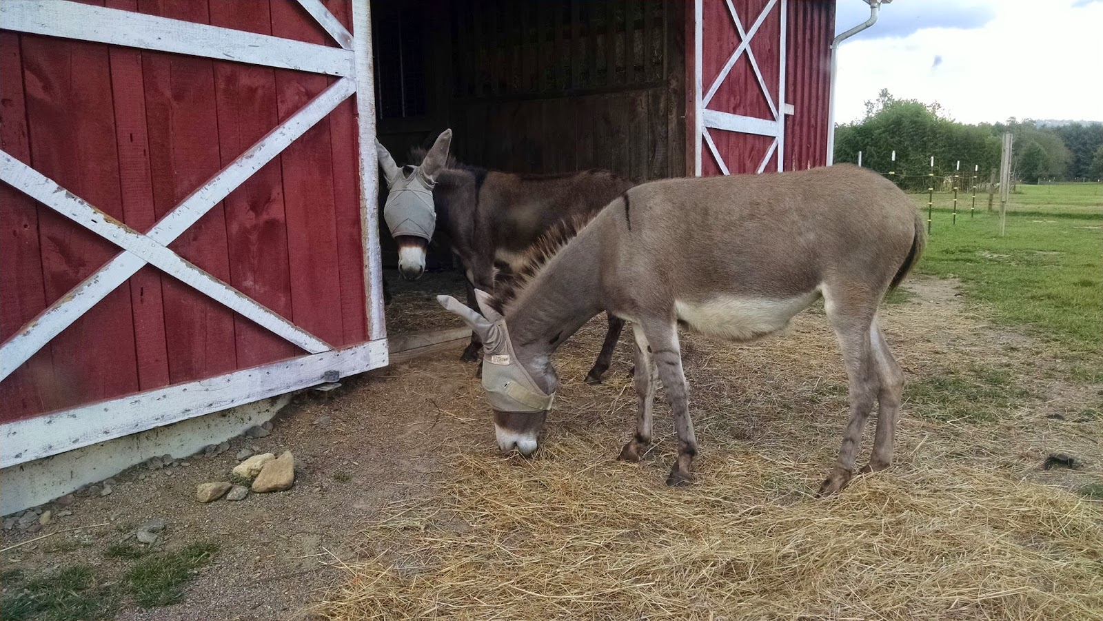 two miniature donkeys eating hay on the ground