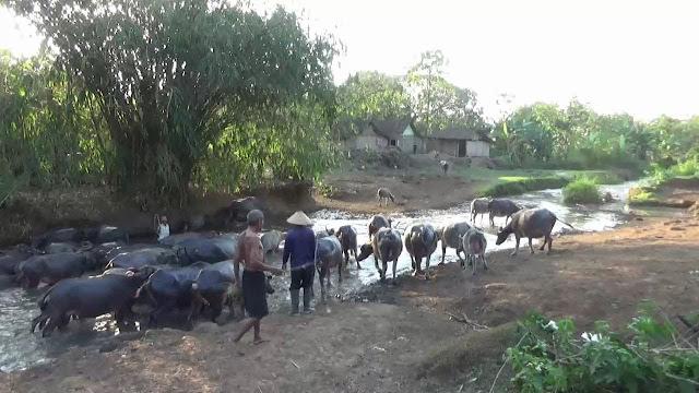 Investasi Kerbau Menjadi Pilihan Warga Desa Ini daripada Nabung di Bank