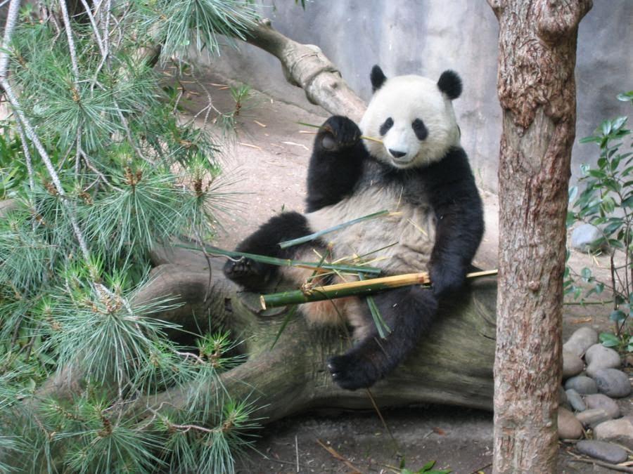 fotografias de osos panda comiendo