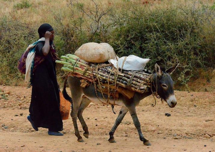 Transporting sugarcane