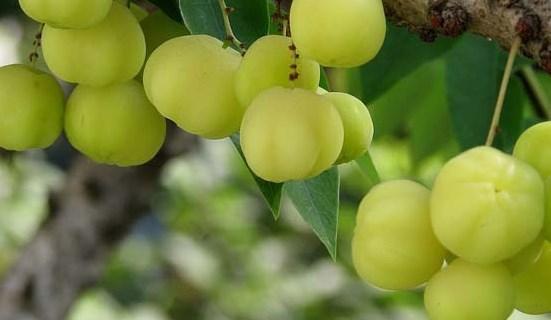 Ramuan Herbal Alami Buah Malaka Untuk Menjaga Kesehatan Liver