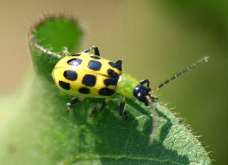 Tips on How to Control Cucumber Beetles
