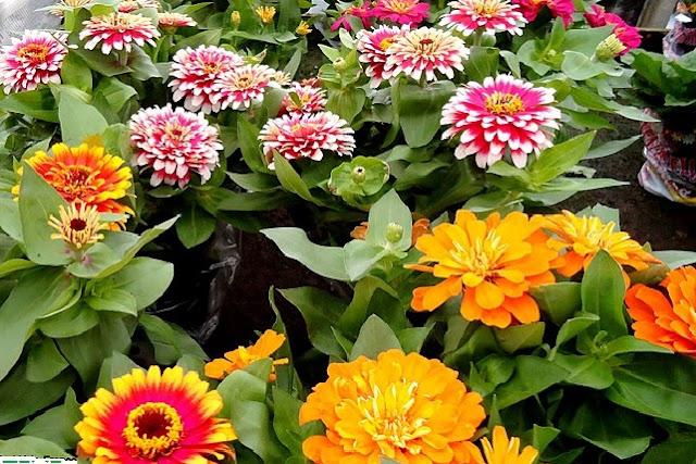 A planta se destaca pela abundância, diversidade de cores, variedades de formatos de pétalas, desde as mais simples às mais extravagantes. Elas parecem ser das flores preferidas de borboletas, muitos jardineiros adicionam zínias especificamente para atraí-las.