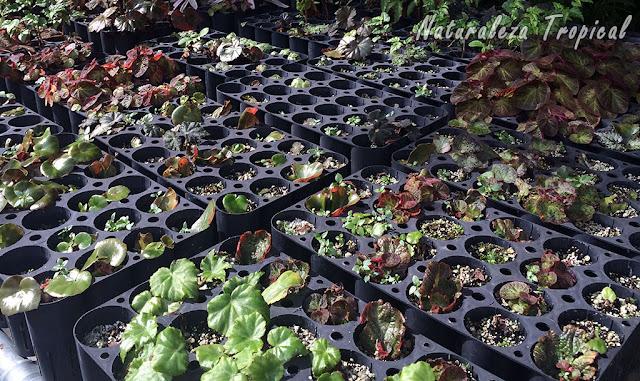Área de reproducción de begonias
