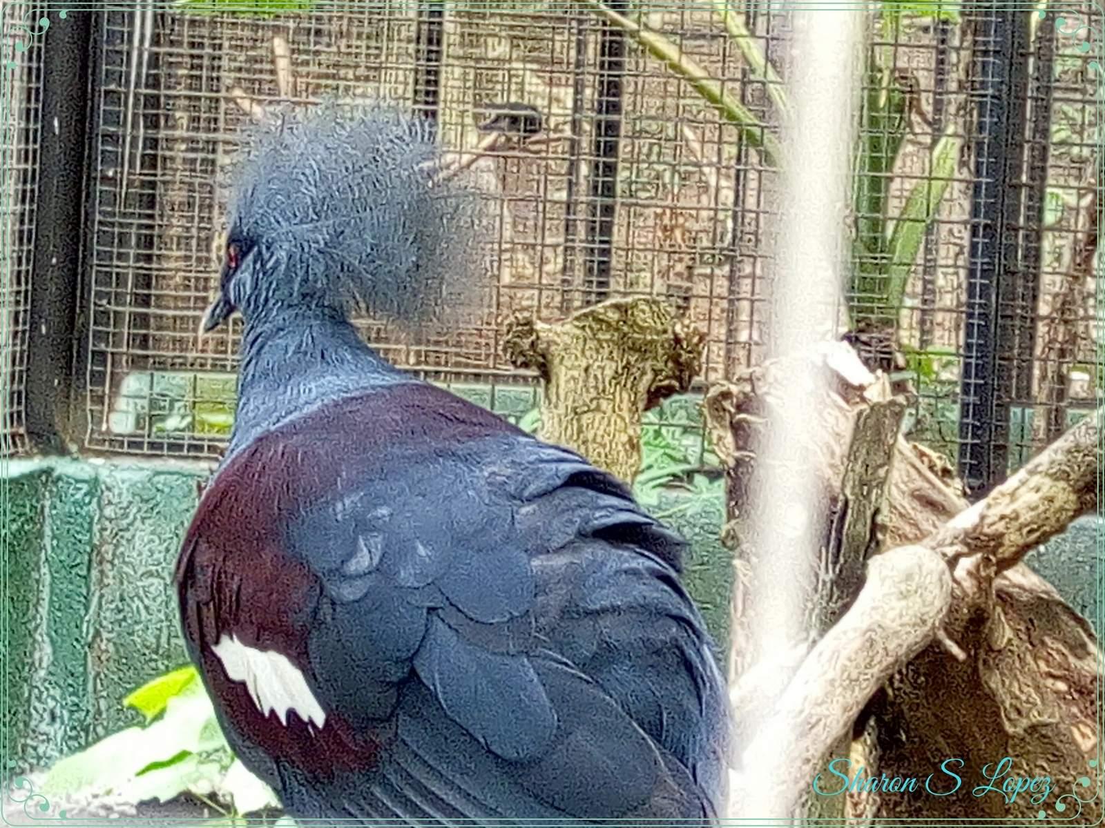 crowned+pigeon