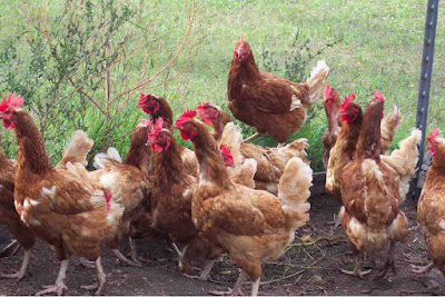 Country chicken farming project report, organic farming methods, country chicken farm