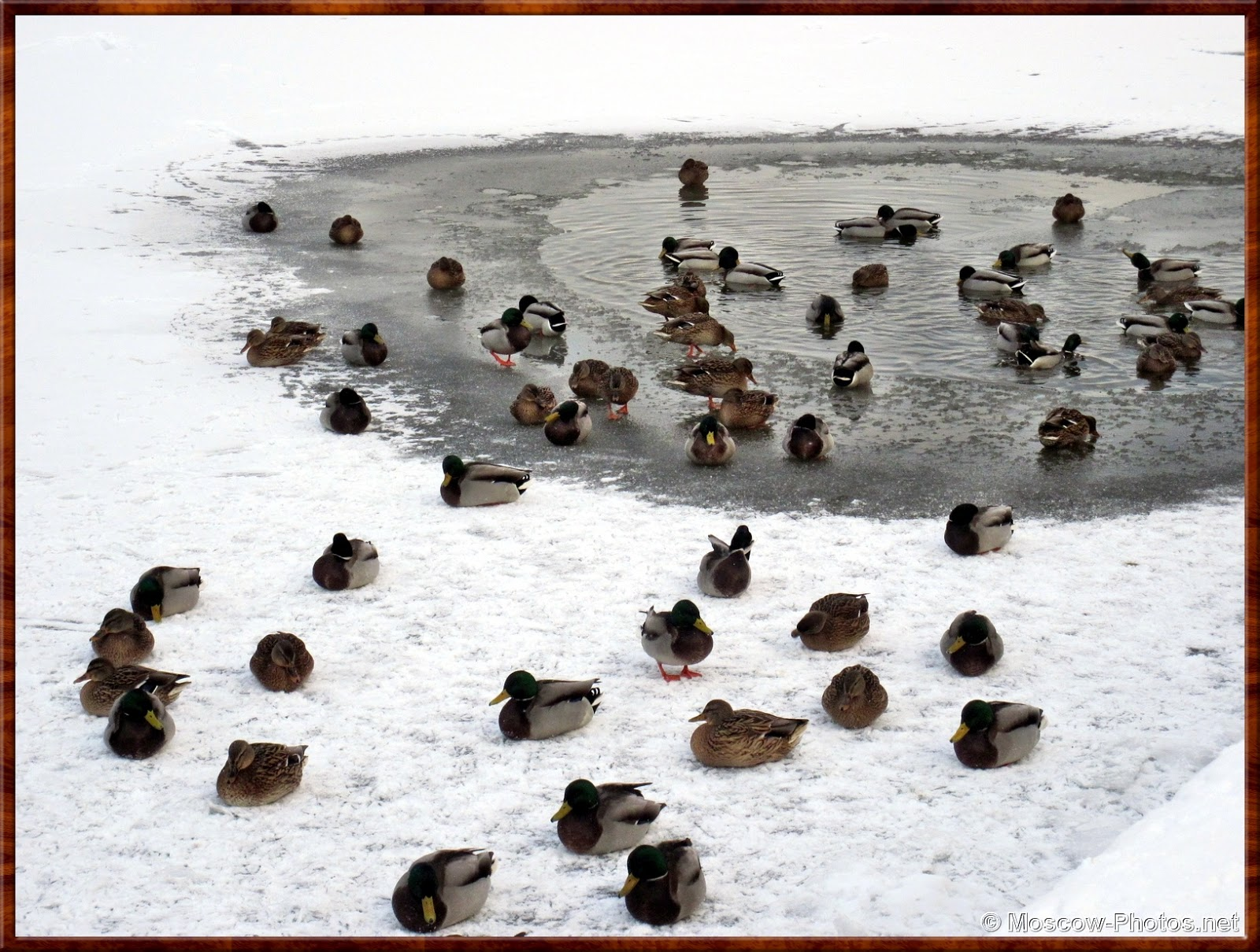 Moscow River - Hungry Ducks