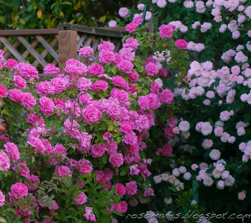 a rose is a rose memories of spring. Black Bedroom Furniture Sets. Home Design Ideas
