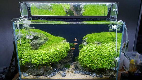 Một bể thủy sinh với cây rau má hương được tỉa ngay ngắn