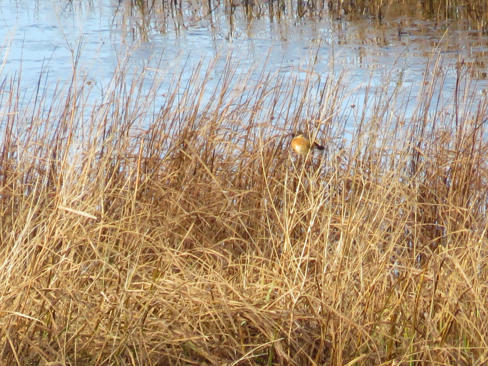 WWT London Wetland Centre: Stonechat