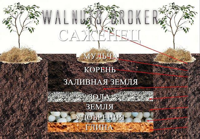 Способ посадки саженцев грецкого ореха Идеал, Кочерженко, Иван Багряный.