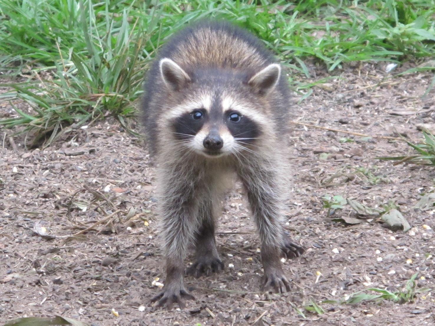 blue jay barrens baby raccoons