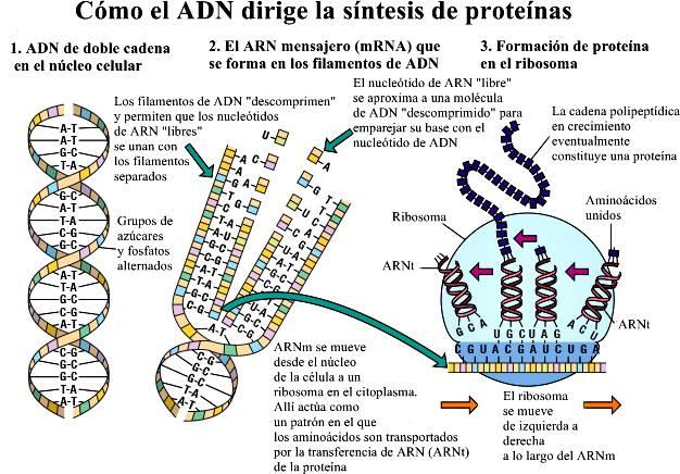 Cómo el ADN dirige la síntesis de proteínas