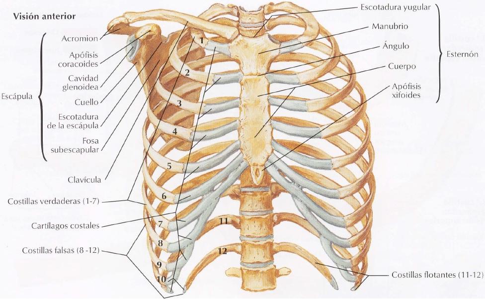TÓRAX Y ABDOMEN - Anatomía Humana