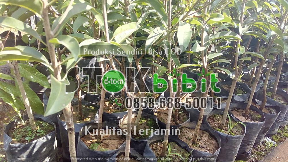 Bibit jeruk Dekopon | Bibit jeruk Nagami      Berkwalitas     berkualitas