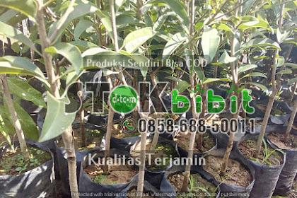 Bibit Durian Merah Banyuwangi Kini Bisa Di Beli Di Purworejo Jawa Tengah    Lengkap