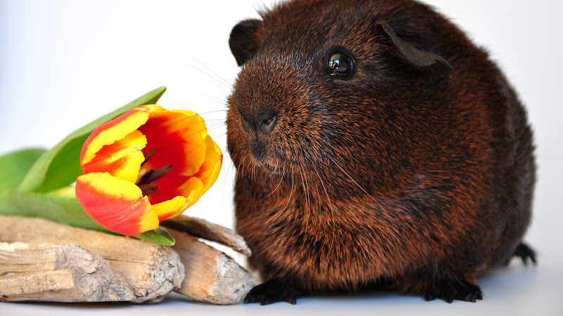 Tulip Flower and Guinea Pig HD