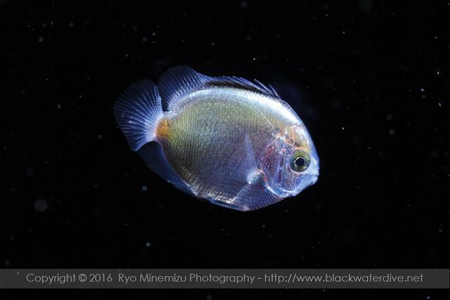 キンチャクダイ科の稚魚